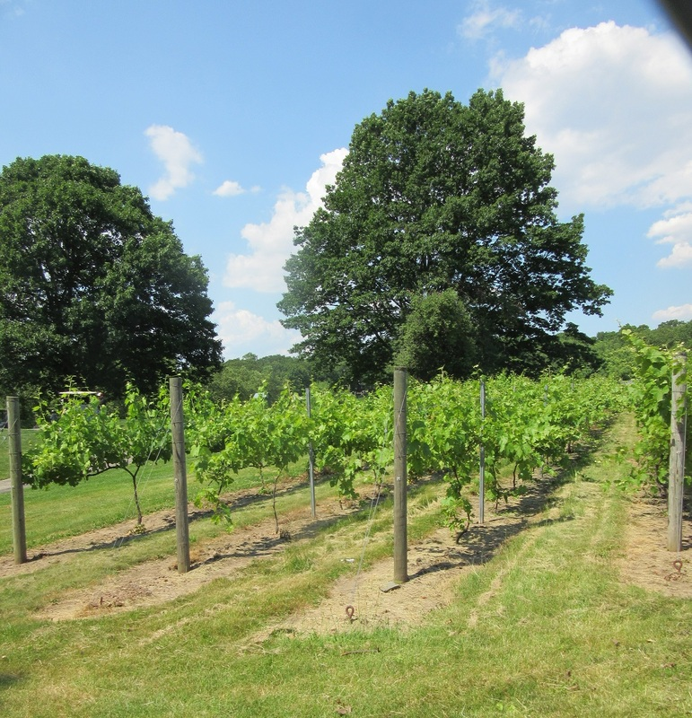 Wine grapes growing on Silver Lake Golf Course on Staten Island.
