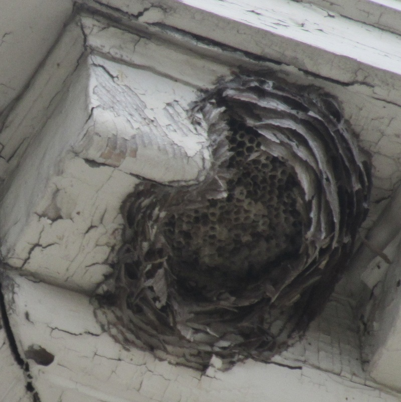 close-up   view of the wasp nest at the Morris-Jumel Mansion
